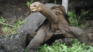 Lonesome George: Kura Kura Raksasa Galapagos