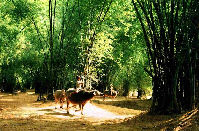 Bamboo tree - a symbol of Viet Nam