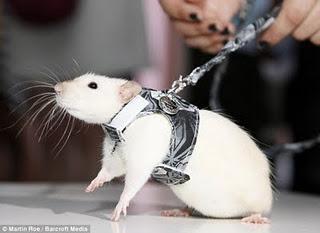 Tikus Semakin Pintar Disuntik Gen Manusia