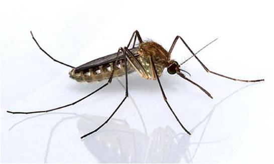 Transmissão do zika é reduzida através de pernilongos com bactéria