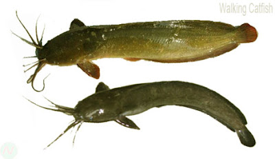 walking catfish, মাগুর মাছ
