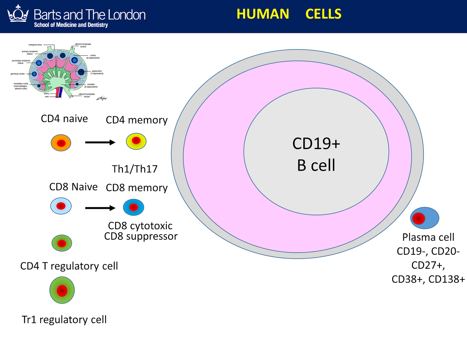 cells expressing cd19 specific cars - 900×667