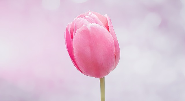 hoa tulip đỏ đẹp nhất 7