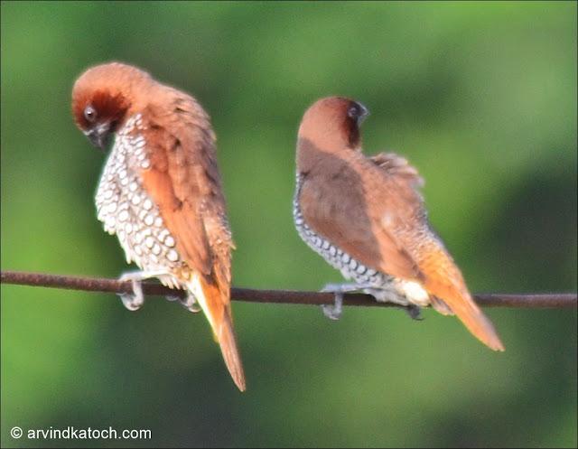 Pair, Scaly-breasted Munia, Munia, Spotted Munia, Tiny Bird,