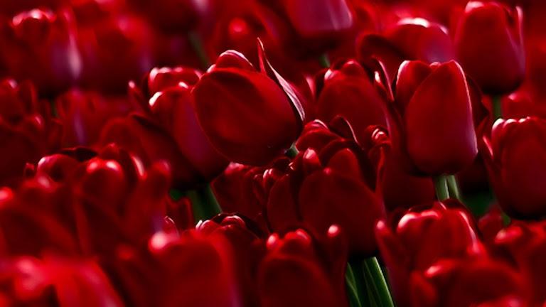 Tulips Flowers HD Wallpaper 5