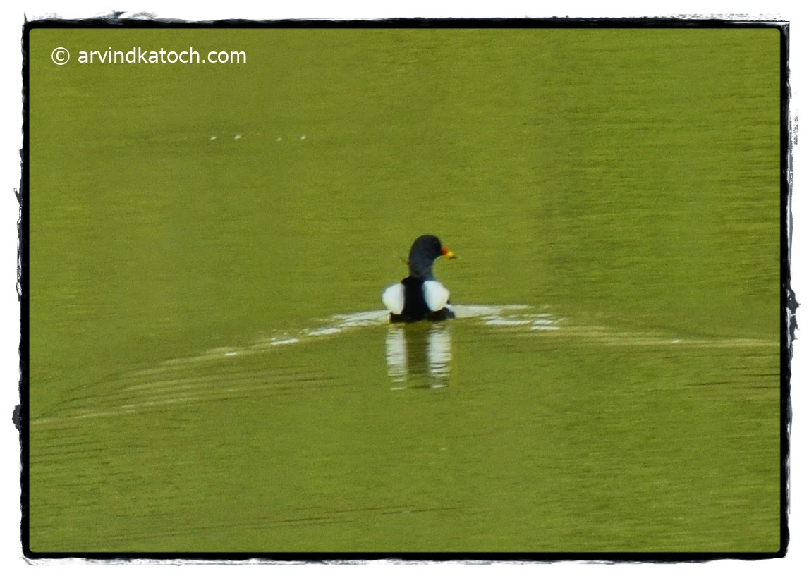 Common Moorhen, Swimming,
