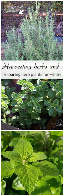 Harvesting herbs before the first frost and preparing herb plants for winter. (c) Oak Hill Homestead