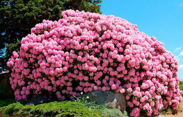 Цветок имени Тамара – рододендрон