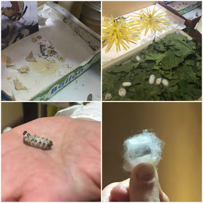 silkworm at a museum