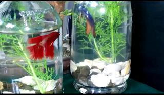 Cara merawat ikan hias guppy dalam toples