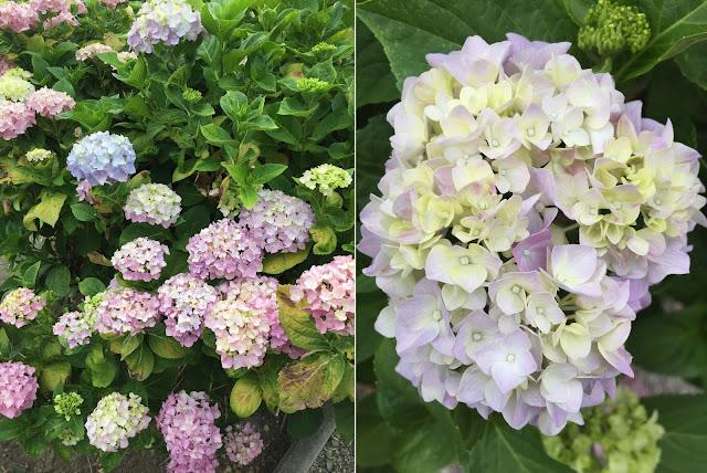 Hortensien blühen