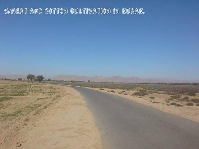 Cotton in Kurak