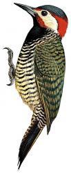 enedemic birds Peru