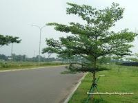 Pohon Ketapang Kencana Payung Alami