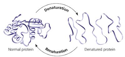 Denaturasi protein, renaturasi protein