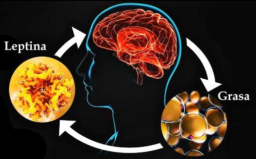 cerebro adelgazar