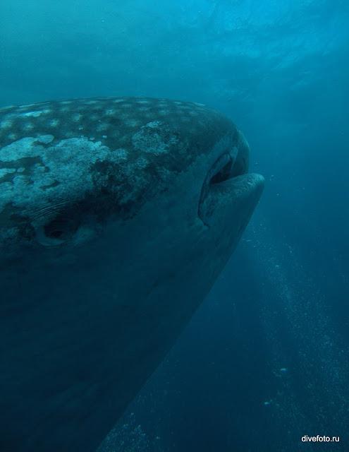 Китовая акул белая о.Вольф