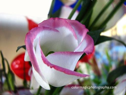 Lisianthus flower-Eustoma