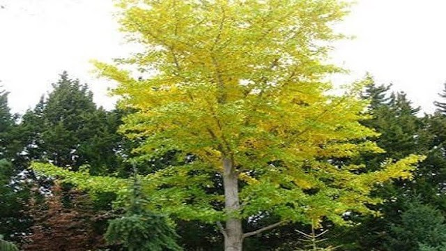 «Διαβάστηκε» το DNA του δέντρου Τζίνγκο μπιλόμπα