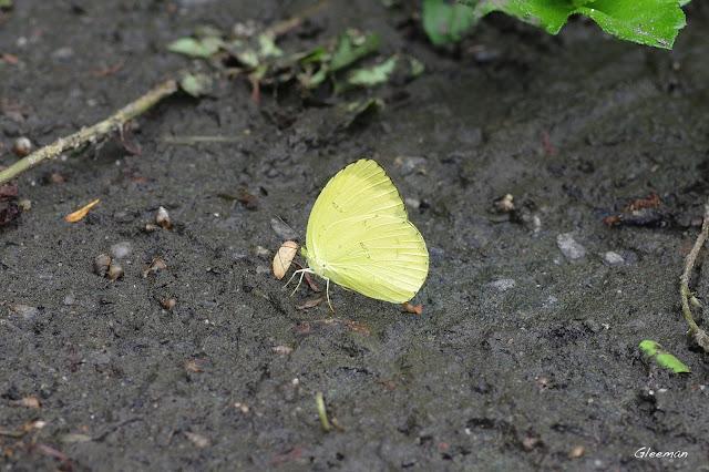 雞南山散步,台灣黃蝶