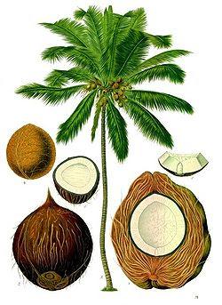 cocotero Cocos nucifera