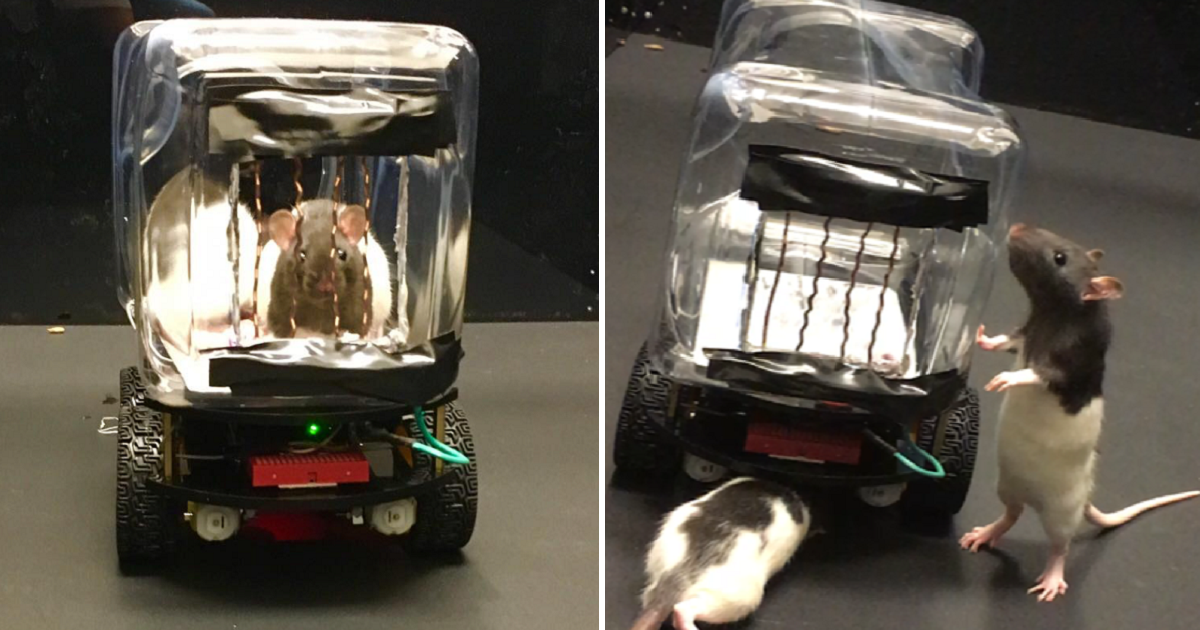 Rats Can Now Drive Tiny Cars To Pick Up Food
