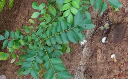 How To Prepare Healthy And Nutritious Curry Leaves Chutney