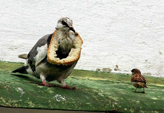 Funny Pigeons Latest Funny Pictures Funny And Cute Animals