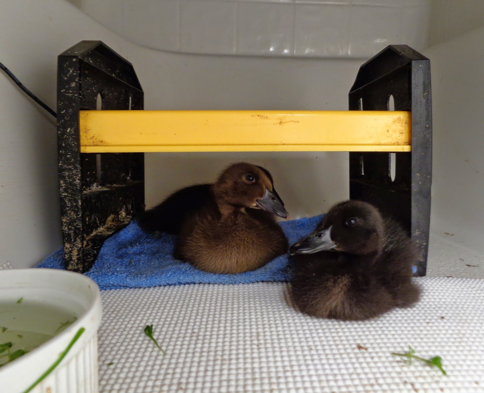 Basic Duckling Care Raising Healthy Happy Ducks Fresh