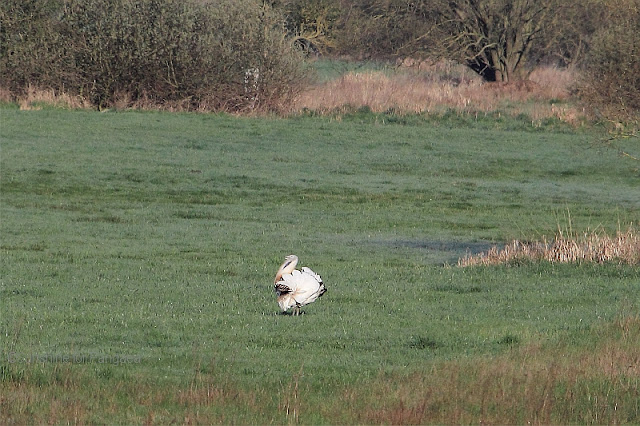 Great bustard displaying male