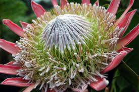 King%2Bprotea%2Bflower.jpg