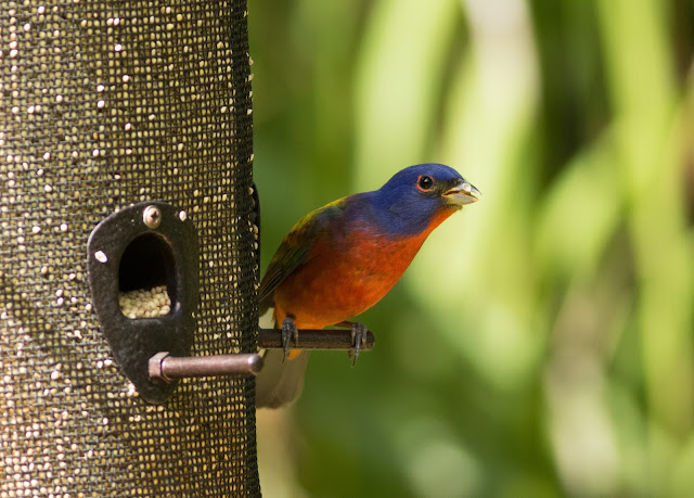 Male Painted Bunting - Felts Audubon Preserve, Florida