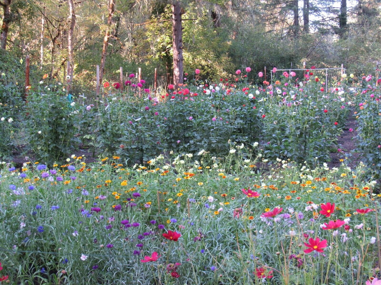 Dahlia Garden Tour