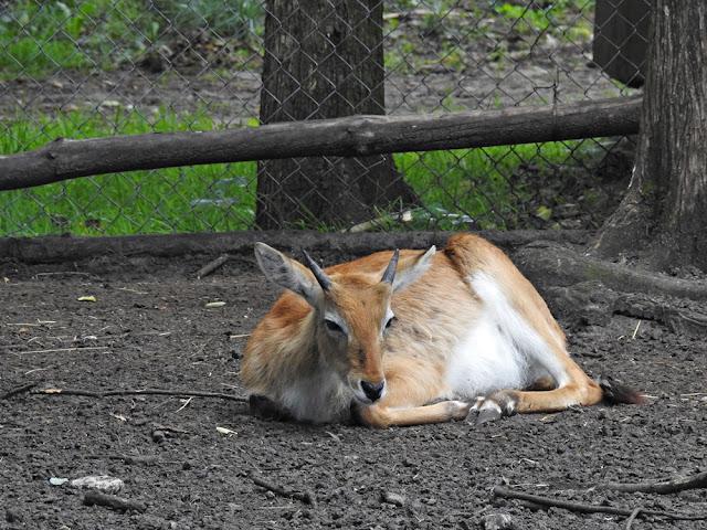 kob liczi wypoczywający w zoo w Nowym Tomyślu