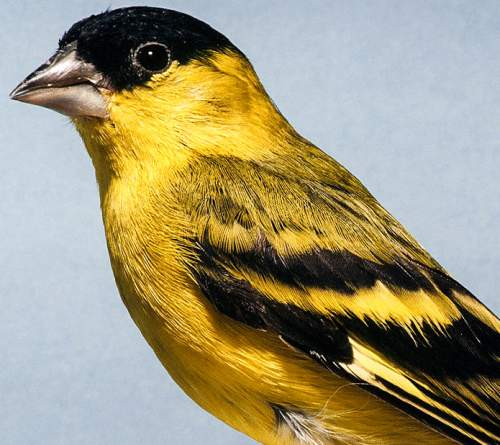 Birds of South America - Photo of Yellow-faced siskin - Spinus yarrellii