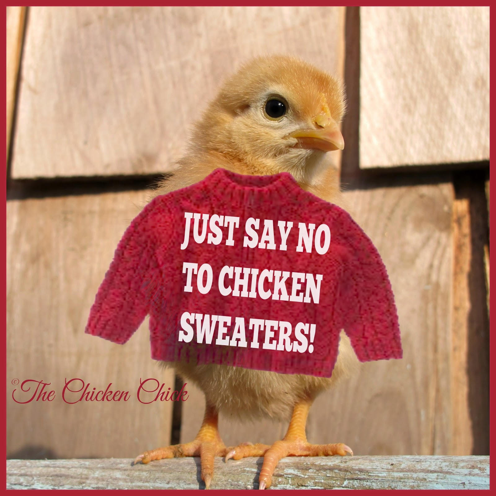 While it's fine to engage in a little silliness with our chickens from time-to-time, sweaters are not only unnecessary, they can be dangerous.