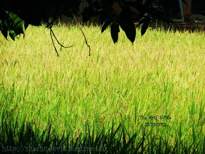 Paddy Field Ready to harvest