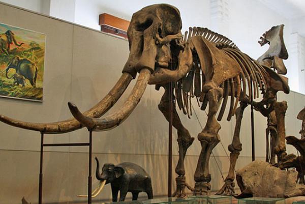 Koleksi Museum Geologi Bandung, Fosil gajah purba