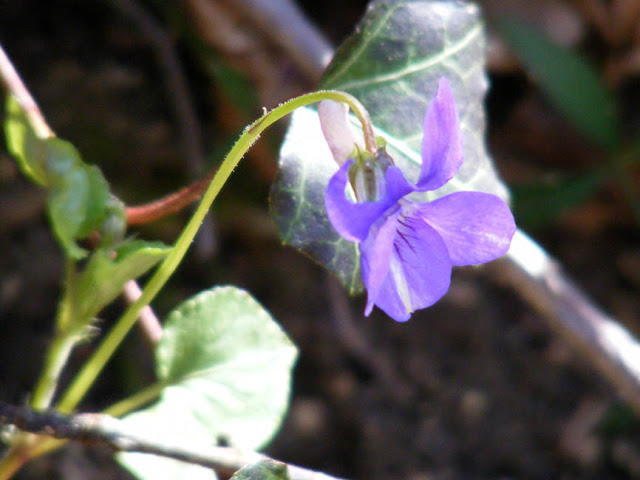 Common Dog Violet Viola riviniana.  Indre et Loire, France. Photographed by Susan Walter. Tour the Loire Valley with a classic car and a private guide.