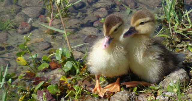 Muscovy Chick siblings