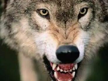 Fakta-Fakta Menarik dan Sejarah tentang Serigala abu-abu