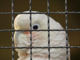 merawat burung kakatua jambul kuning dan putih
