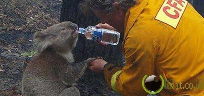 Pemadam Yang Selamatkan Koala Kehausan