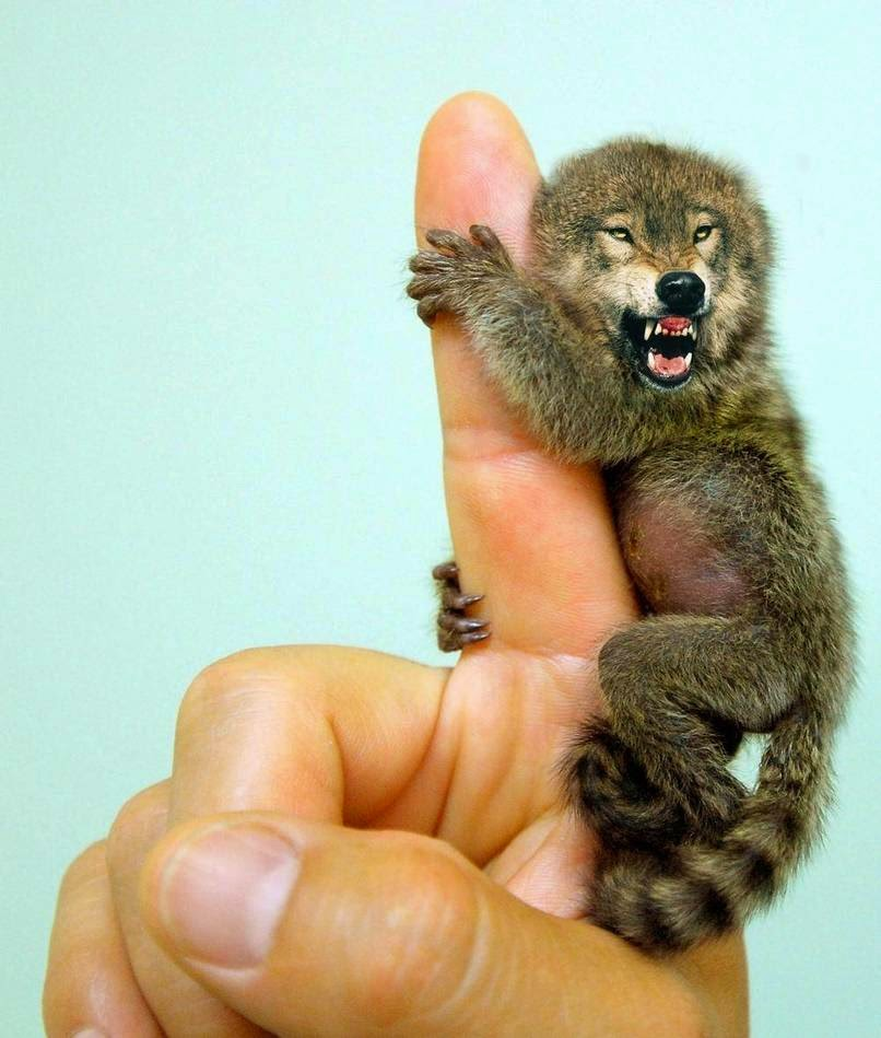 02-Pygmy-Marmowolf-reddit-Animal-Mashups-Lovely-or-Scary-www-designstack-co