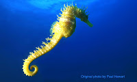 Long-snouted Seahorse