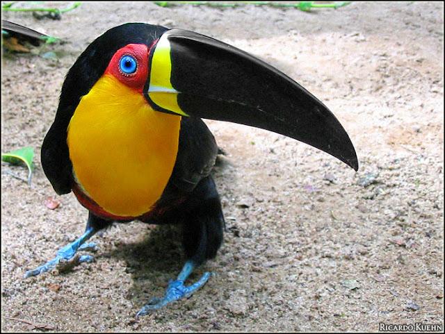 Amazing Toucan Bird - Toucans Facts, Photos, Information ...