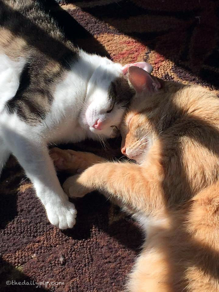 special needs cat adoption, adopting two cats