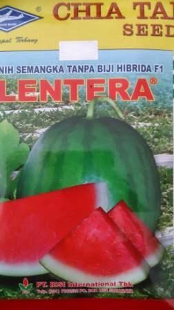 buah besar, daging merah, buah bulat, semangka non biji, semangka Lentera, Buah Lonjong, Buah Oval, Non Biji Lentera, Cap Kapal Terbang