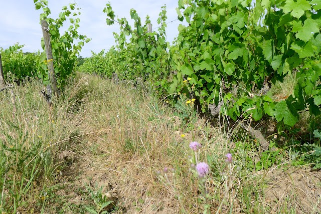 De Paris à Angers par la Loire à vélo, vignes naturelles