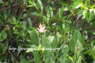 Bunga Bakau